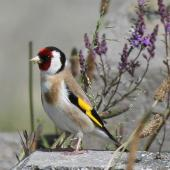 European goldfinch. Adult. Wellington, January 2010. Image © Duncan Watson by Duncan Watson