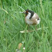 European goldfinch. Adult eating dandelion seed. Lower Hutt, November 2011. Image © John Flux by John Flux