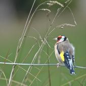 European goldfinch. Adult male feeding on grass seeds. Omana Regional Park, April 2015. Image © Marie-Louise Myburgh by Marie-Louise Myburgh
