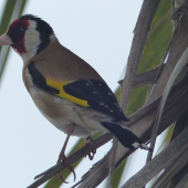 European goldfinch. Adult male in NZ cabbage tree. Torquay, England, July 2015. Image © Alan Tennyson by Alan Tennyson