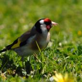 European goldfinch. Female. Riversdale Wairarapa, October 2007. Image © Peter Reese by Peter Reese