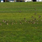European goldfinch. Flock feeding. North Shore Auckland, September 2011. Image © Peter Reese by Peter Reese