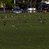 European goldfinch. Flock in flight. North Shore Auckland, September 2011. Image © Peter Reese by Peter Reese