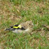 European goldfinch. Juvenile foraging on ground. Tiritiri Matangi Island, January 2006. Image © Josie Galbraith by Josie Galbraith