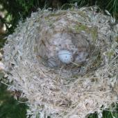 European goldfinch. Nest with egg. Morrinsville, January 2005. Image © Andrew Thomas by Andrew Thomas Andrew Thomas