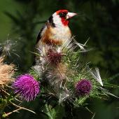 European goldfinch. Adult male feeding on thistle. Wanganui, January 2011. Image © Ormond Torr by Ormond Torr