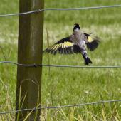 European goldfinch. Adult in flight. Tauranga, January 2011. Image © Raewyn Adams by Raewyn Adams