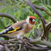 European goldfinch. Adult female extracting seeds from emerald tree's long seed pods. Mission Heights garden, Auckland, April 2016. Image © Marie-Louise Myburgh by Marie-Louise Myburgh