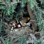 European goldfinch. Pair at nest containing chicks. Female removing faecal sac. Gisborne, January 1979. Image © Department of Conservation (image ref: 10031117) by Dick Veitch, Department of Conservation Courtesy of Department of Conservation