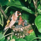 European goldfinch. Adult feeding chicks at nest. . Image © Department of Conservation (image ref: 10048718) by Department of Conservation  Courtesy of Department of Conservation