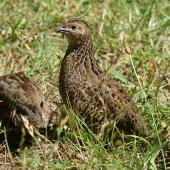 Brown quail. Pair with lookout. Tiritiri Matangi Island, January 2009. Image © Duncan Watson by Duncan Watson