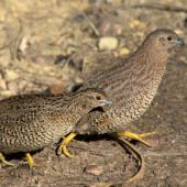 Brown quail. Two adults. Tiritiri Matangi Island, December 2015. Image © Oscar Thomas by Oscar Thomas