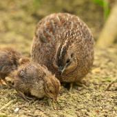 Brown quail. Hen with chicks. Whangamumu track, Rawhiti, December 2014. Image © Les Feasey by Les Feasey
