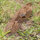 Brown quail. Adult pair. Tiritiri Matangi Island, November 2008. Image © Peter Reese by Peter Reese