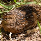 Brown quail. Adult sitting. Tiritiri Matangi Island, November 2008. Image © Peter Reese by Peter Reese
