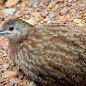 Brown quail. Adult with red iris. Tiritiri Matangi Island, December 2014. Image © Oscar Thomas by Oscar Thomas https://www.flickr.com/photos/kokakola11