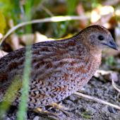 Brown quail. Adult foraging in understory. Tiritiri Matangi Island, January 2015. Image © Nick Goldwater by Nick Goldwater