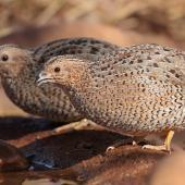 Brown quail. Pair at water hole. Airstrip, Purnululu National Park, Western Australia, August 2018. Image © Glenn Pure 2018 birdlifephotography.org.au by Glenn Pure