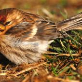 Common redpoll. Female on ground. Stephens Island, August 2009. Image © Peter Reese by Peter Reese