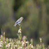 Common redpoll. Female perched. Campbell Island, November 2011. Image © Sonja Ross by Sonja Ross