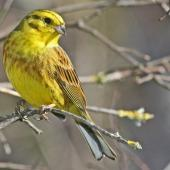 Yellowhammer. Adult male. Cape Kidnappers, September 2008. Image © Dick Porter by Dick Porter