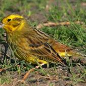 Yellowhammer. Adult female. Wanganui, September 2009. Image © Ormond Torr by Ormond Torr