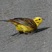 Yellowhammer. Adult male. Wanganui, November 2007. Image © Ormond Torr by Ormond Torr