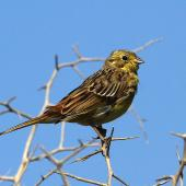 Yellowhammer. Immature. Wanganui, February 2013. Image © Ormond Torr by Ormond Torr