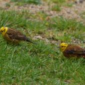 Yellowhammer. Two males feeding. Maud Island, October 2008. Image © Peter Reese by Peter Reese