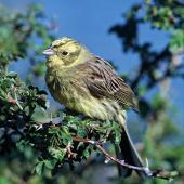Yellowhammer. Adult male. Lake Ohau, November 1982. Image © Department of Conservation by Rod Morris Courtesy of Department of Conservation