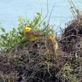 Yellowhammer. Adult male (left) & female (right). Catlins, November 2011. Image © James Mortimer by James Mortimer