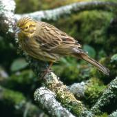 Yellowhammer. Adult female. Rotorua, September 2001. Image © Terry Greene by Terry Greene