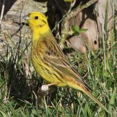 Yellowhammer. Adult male. Whitireia Park, July 2016. Image © Robert Hanbury-Sparrow by Robert Hanbury-Sparrow