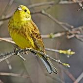 Yellowhammer. Adult male. Te Awanga, Hawke's Bay, September 2008. Image © Dick Porter by Dick Porter