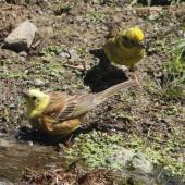Yellowhammer. Pair; female behind male. Battle Hill Farm Forest Park, December 2015. Image © Robert Hanbury-Sparrow by Robert Hanbury-Sparrow