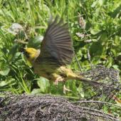 Yellowhammer. Female taking off. Battle Hill Farm Forest Park, December 2015. Image © Robert Hanbury-Sparrow by Robert Hanbury-Sparrow