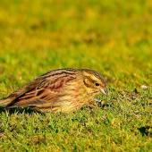 Cirl bunting. Adult female. South Bay, Kaikoura, September 2020. Image © Alan Shaw by Alan Shaw