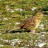 Cirl bunting. Adult female. South Bay, Kaikoura, August 2020. Image © Alan Shaw by Alan Shaw