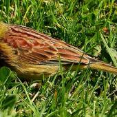Cirl bunting. Adult male. South Bay, Kaikoura, September 2020. Image © Alan Shaw by Alan Shaw
