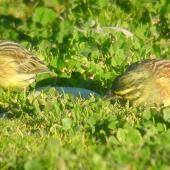 Cirl bunting. Female (left) and male non-breeding. Wakapuaka,  Nelson, July 2006. Image © Nicholas Allen by Nicholas Allen nick_allen@xtra.co.nz