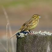 Cirl bunting. Immature female. Wairau Lagoons, Marlborough, May 2017. Image © Bill Cash by Bill Cash
