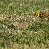 Cirl bunting. Non-breeding male (left) showing olive rump (cf. chestnut rump of non-breeding male yellowhammer on right). Taylors Dam, Marlborough, June 2017. Image © Bill Cash by Bill Cash