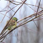 Cirl bunting. Adult male in breeding plumage. Auxerre,  France, February 2017. Image © Cyril VAthelet by Cyril Vathelet