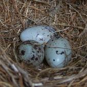 Cirl bunting. Eggs (3) laid by captive female. Upper Hutt, December 2012. Image © David Angus by David Angus
