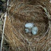 Cirl bunting. Nest with three eggs (in captivity). Upper Hutt, December 2012. Image © David Angus by David Angus