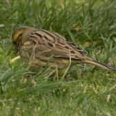Cirl bunting. Adult female, showing olive rump. Victoria Park, Christchurch, September 2020. Image © Adam Colley by Adam Colley