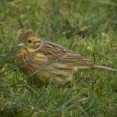 Cirl bunting. Adult female. Victoria Park, Christchurch, September 2020. Image © Adam Colley by Adam Colley