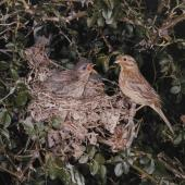 Cirl bunting. Female at nest with 3 chicks. . Image © Te Papa by Kenneth Bigwood