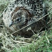 Common pheasant. Adult female on nest. Ngongotaha, February 1972. Image © Department of Conservation ( image ref: 10036040 ) by Rod Morris Department of Conservation  Courtesy of Department of Conservation