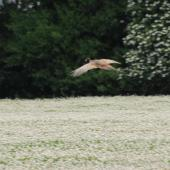 Common pheasant. Dorsal view of male in flight. Canterbury, November 2010. Image © Peter Reese by Peter Reese